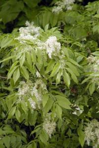 листья и соцветья ивы